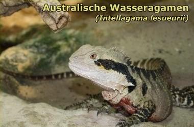 Australische Wasseragamen