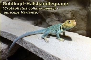 Goldkopf-Halsbandleguane