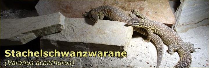 Stachelschwanzwarane