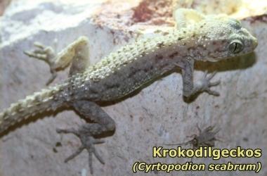 Krokodilgeckos