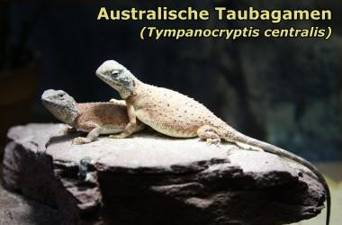 Australische Taubagamen