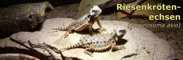 Riesenkrötenechse