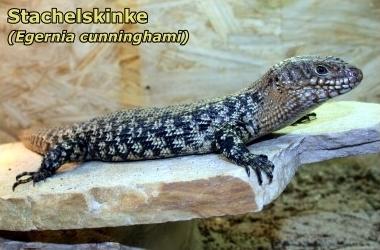 Stachelskinke