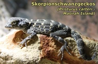 Skorpionschwanzgeckos