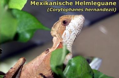 Mexikanische Helmleguane