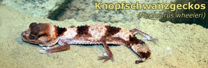 Knopfschwanzgeckos