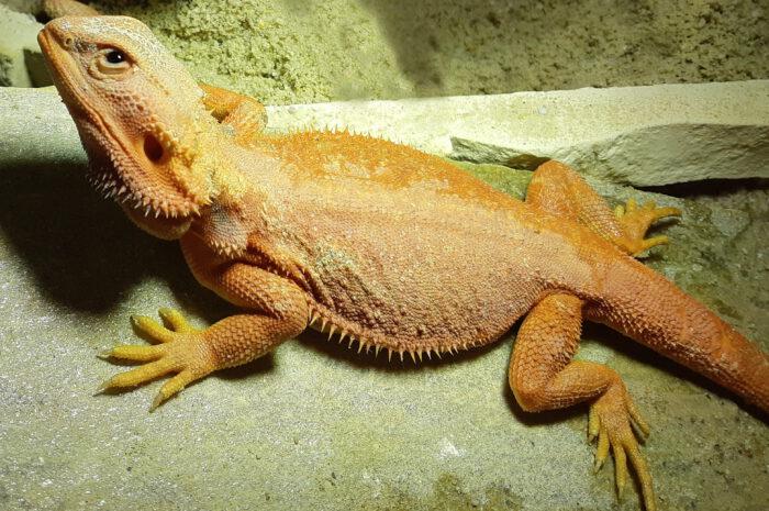 Neu im Zoo: Farb-Bartagamen