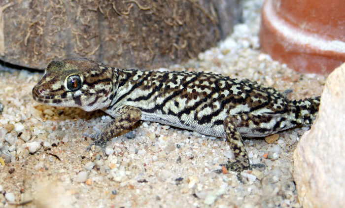 Neu im Zoo: Madagaskar-Großkopfgeckos