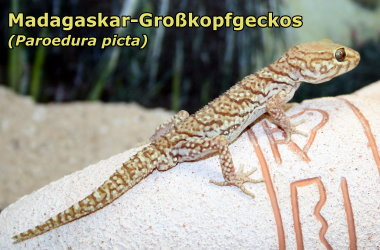Großkopfgecko