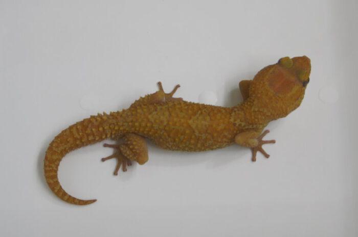 Sonderangebot Madagaskar-Großkopfgeckos (Paroedura picta)