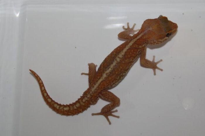 Nachzuchten der Großkopfgeckos abzugeben
